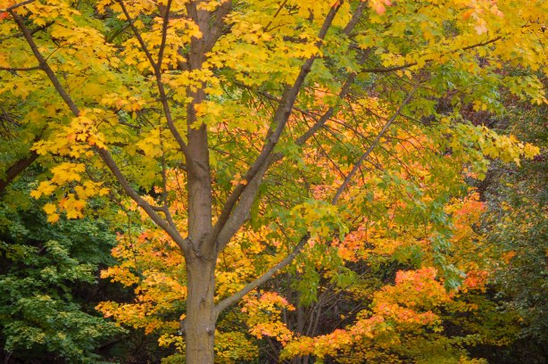 Mid sized maple tree with yellow and orange leaves