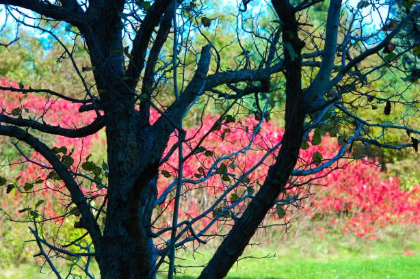 a black silhouette of a tree with no leaves, with a row of pink leaves on sumach trees in the background,