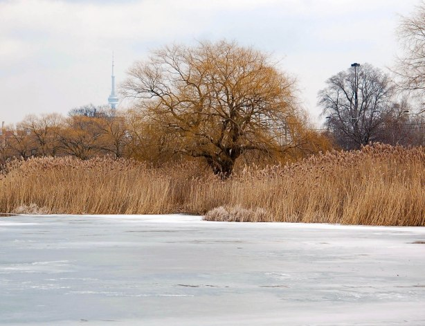 a frozen pond, brown reeds and grass, a couple of trees with no leaves, and the CN tower in the background.