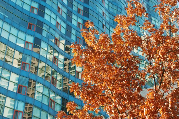 rusty brown leaves on a young tree in the foreground, the bluish condo building on Queens Quay behind it, some reflections of autumn colours in the windows of the condo building.