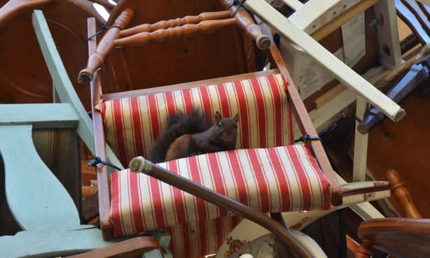A squirrel sits on the bottom of a red and white striped chair that is upside down.