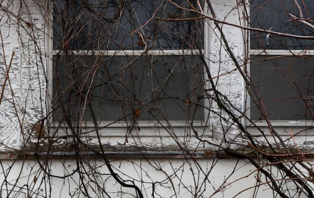 A window that has been overgrown with vines.  Because the photo was taken in November, there are no leaves on the vine.