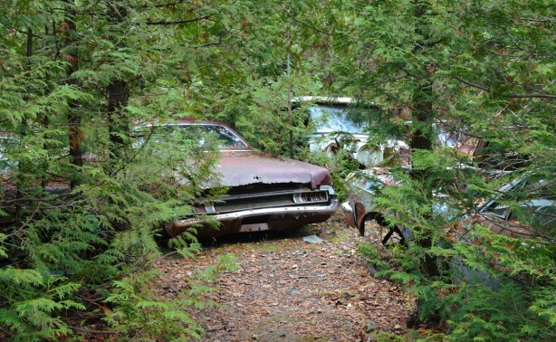 Three abandoned cars with cedar trees growing up around them.