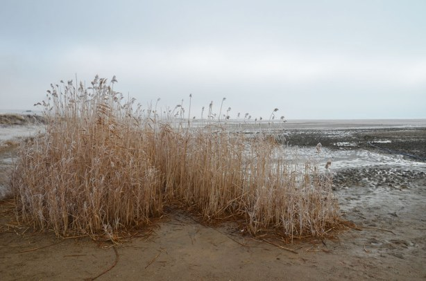 Some dead grasses that are rather tall at the shore of the lake