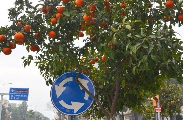 An orange tree laden with fruit that is growing beside a road.  There is a blue and white road sign indicating a roundabout (traffic circle) by the tree.  Another blue and white traffic sign is in the distance.