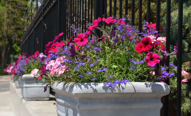 flower boxes with dark pink petunias.