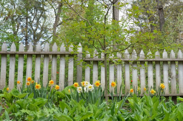 many yellow and white daffodils are growing in front of a picket fence.  There are a number of trees with new leaves behind the fence.