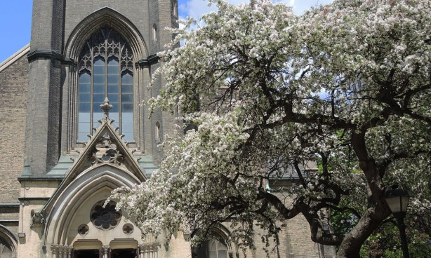 Flowering white tree in front of the entrance of Metropolitan United Church
