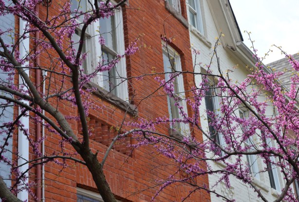 A tree with pink blossoms is growing in front of brick row houses, one red brick and one that has been painted light grey.