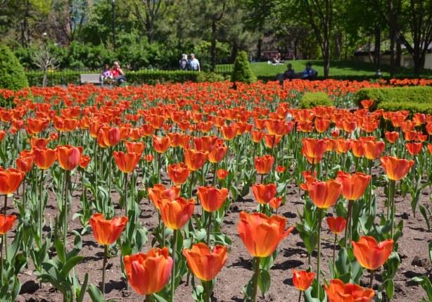 A large garden full of orange tulips.  In the background is the grass and trees of St. james Park.  There is a couple sitting on a bench on the far side of the tulip bed.