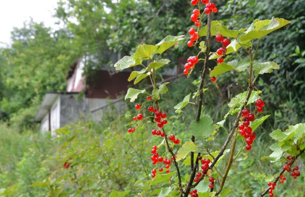 A red currant bush laiden with lots of berries is in the foreground.  The old abandoned house is in the background, partially obscured by trees , shrubs and long grass.