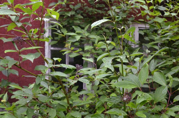 A large shrub is growing in front of a window.  You can hardly see the window.
