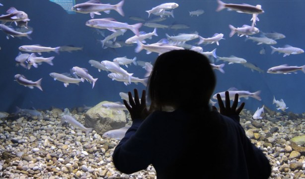 A girl is standing very close to one of the tanks at the aquarium, she has her hands open and on the glass.
