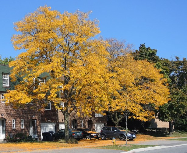 There are two tall locust trees with small yellow leaves.  Some of the leaves have already fallen and they are on the ground, and on the cars parked in the driveway.