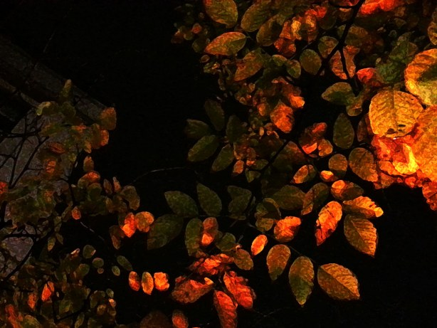 fall coloured leaves at night, light is from a streetlight.