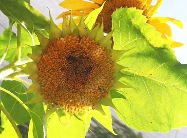 Two sunflowers on a sunflower plant with big green leaves.  The sun is shining from above so the leaves look translucent.
