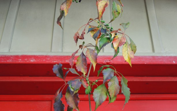 Leaves in reds and purples are hanging in front of a red garage door - close up shot