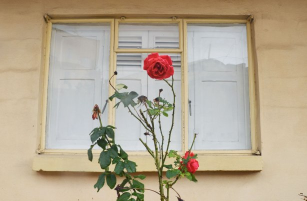 A window on a yellowish beige house.  A rose bush is growing in front of the window.