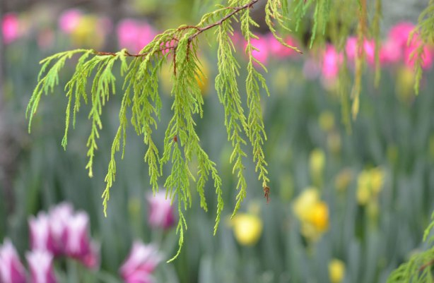 cedar branch in focus in the foregound with a bed of pink and yellow flowers out of focus and blurry in the background