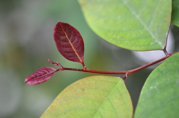 reddish coloured new growth on a green plant