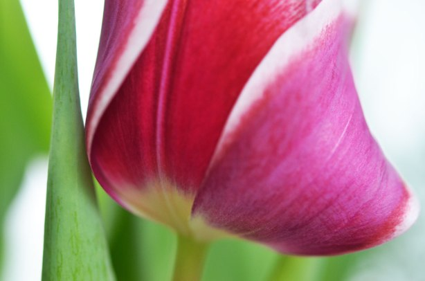 close up shot of a dark pink and white tulip in bloom