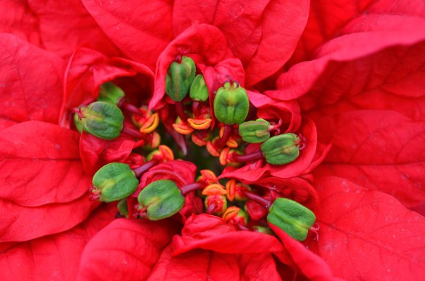 close up macro photograph of the center of a red poinsettia showing the stamens and other parts