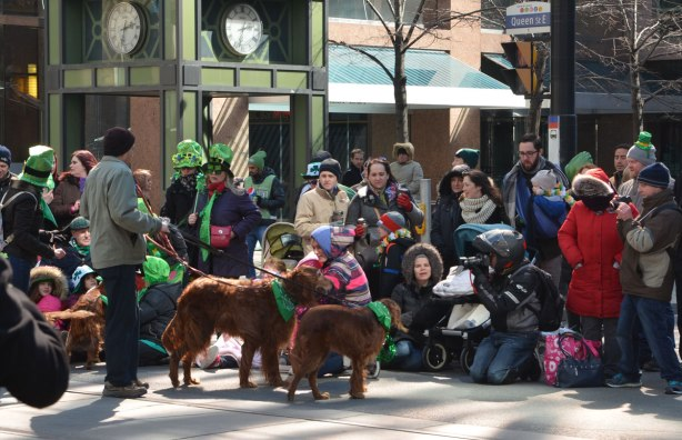 A group of Irish setters with green bandanas around their necks.  They are part of the parade.  One of them is being hugged by a girl spectator along the edge of the parade route.