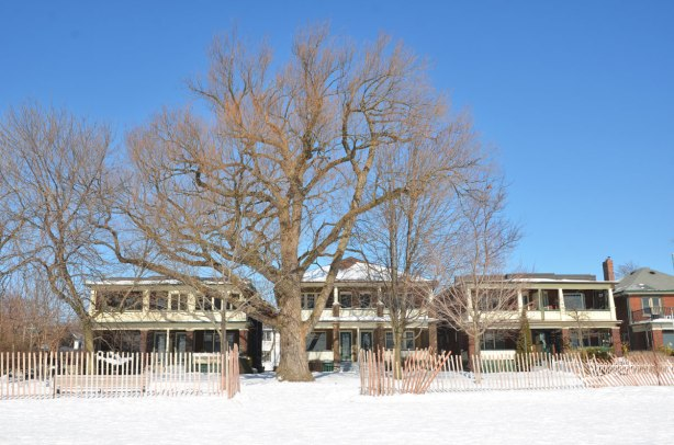 A very large tree in winter in front of three semi detached two stroey houses on the beach.