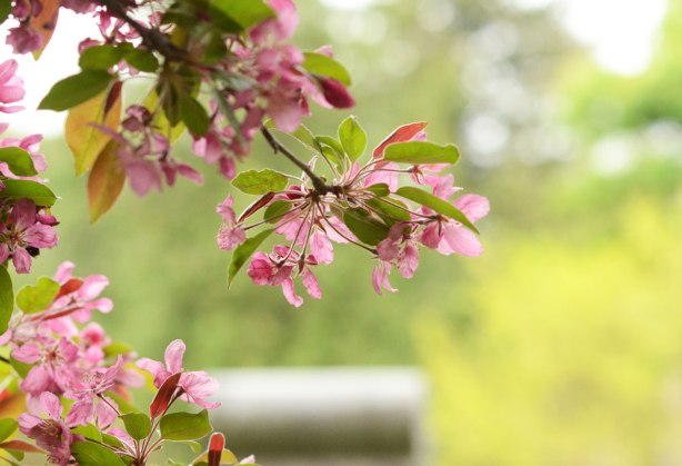branches from a tree laden with pink blossoms in the foreground, a cemetery tombstone in the background