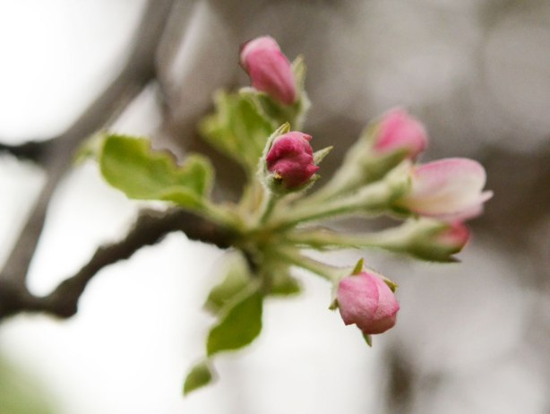 little pink buds on the end of a branch of a tree