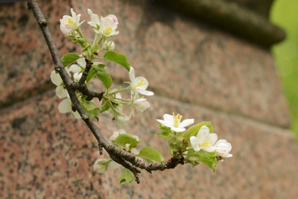 clusters of white blossoms on a branch of a tree with a brownish marble tombstone in the background