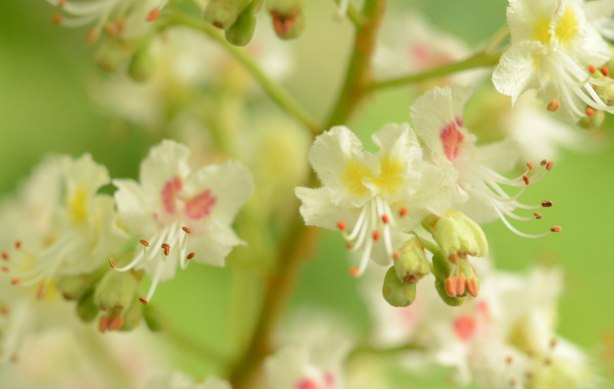 close up of the flowers of a horse chestnut tree.  Small white petals with pink and yellow markings, and large green seed pods.