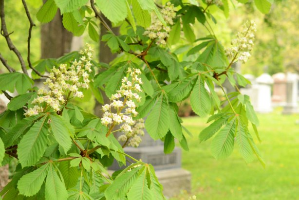 chestnut tree in bloom in a cemetery.