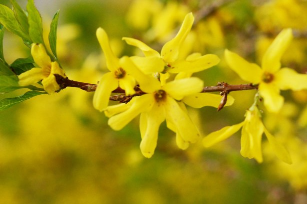 A branch of a forsythia bush with many little yellow flowers on it
