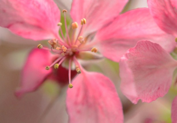 bright pink flower on a blossoming tree