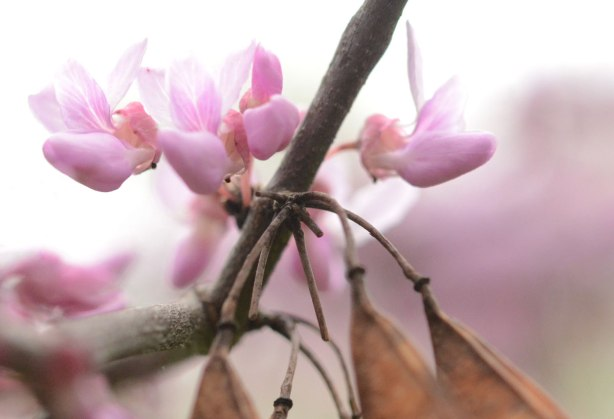 pinkish purple little flowers on a branch along with some dried brown pods left over from autumn.