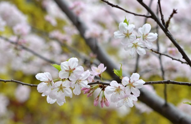 sakura, cherry blossoms, in full bloom - a branch laden with white flowers