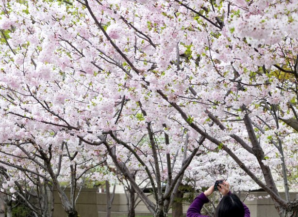 sakura, cherry blossoms, in full bloom - a number of trees in a row.  A woman is using a smartphone to take photos of the blossoms.  she is just visible at the bottom of the picture