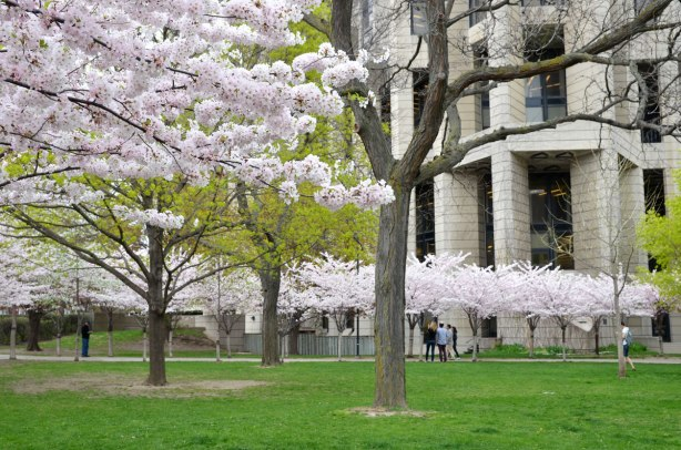 rows of cherry trees in blossom in front of the Robarts library, a large concrete building
