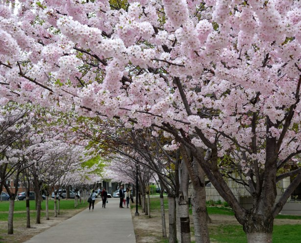 sakura, cherry blossoms, in full bloom - a pathway with a row of cherry trees on both sides.  The branches of the trees almost meet at the top to forma canopy of blossoms.