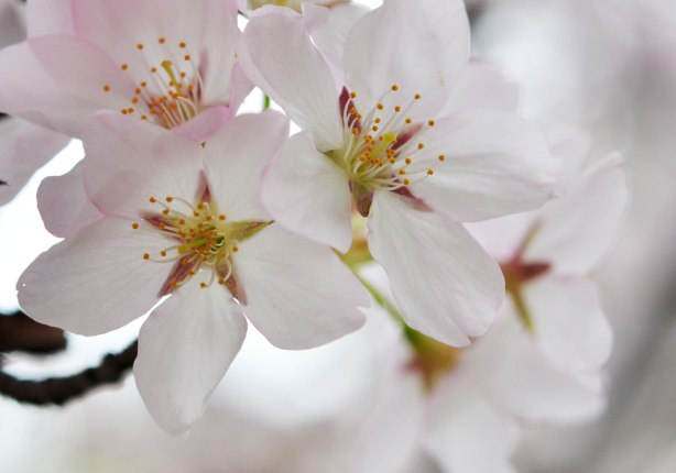 sakura, cherry blossoms, in full bloom  - close up of a cluster of blossoms