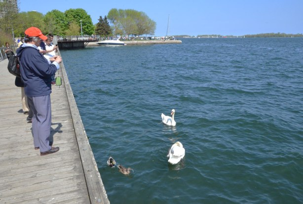 People on the waterfront boardwalk taking pictures of two swans and two ducks that are in the lake