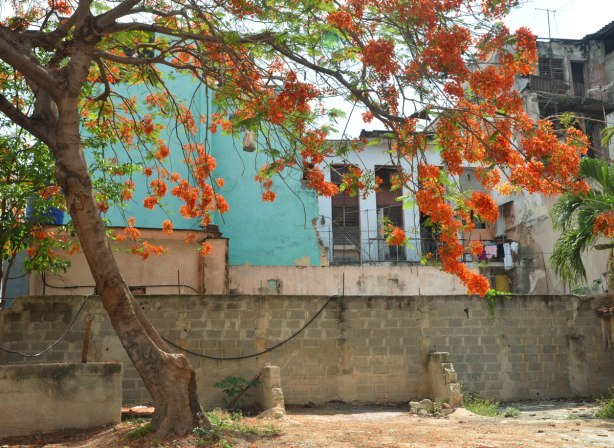 picture taken in the old part of the city of Havana Cuba - a small courtyard with a stone fence, no grass growing in the yard, just dirt. There is a tree with bright orange blossoms, the building in the background has a turquoise wall
