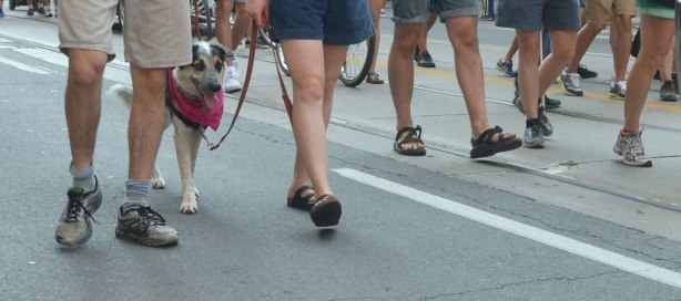 A dog has a pink bandana around his neck. He is with a group walking in a labour day parade although only their legs and feet show in the picture