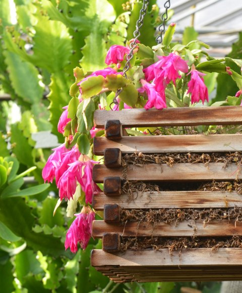 pink flowers on a Christmas cactus in a wood basket hanging amongst other cacti