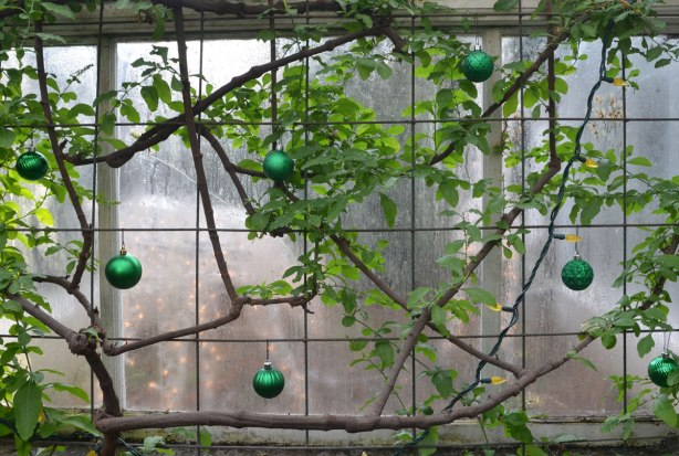 green Christmas balls have been hung from a vine that is growing against the walls of a greenhouse.