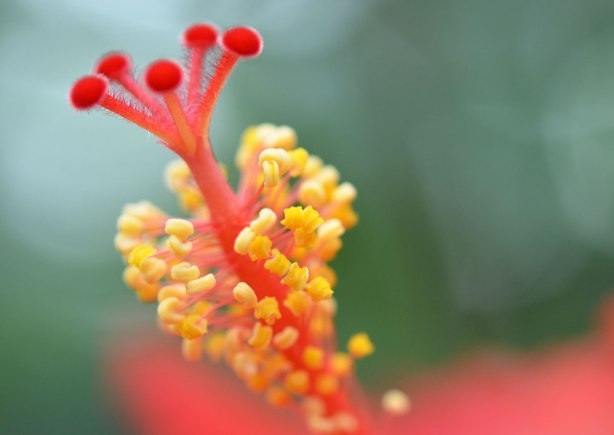 close up of the stamen of an hibiscus plant