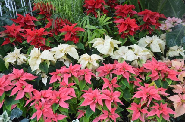 many poinsettia plants on display, red ones, white ones and pink poinsettias