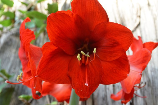 three red amaryllis blossoms on a plant, standing tall