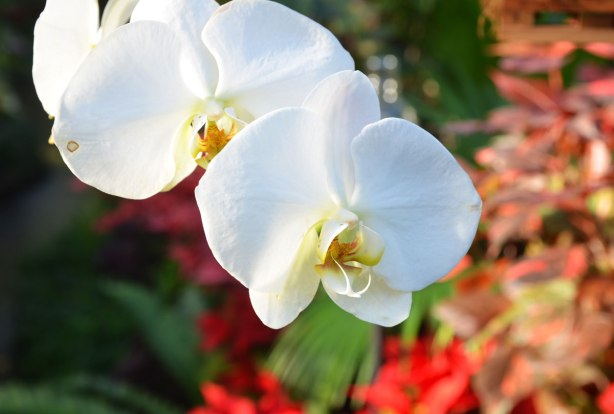 two white orchid blossoms in the foreground, red flowers out of focus in the background